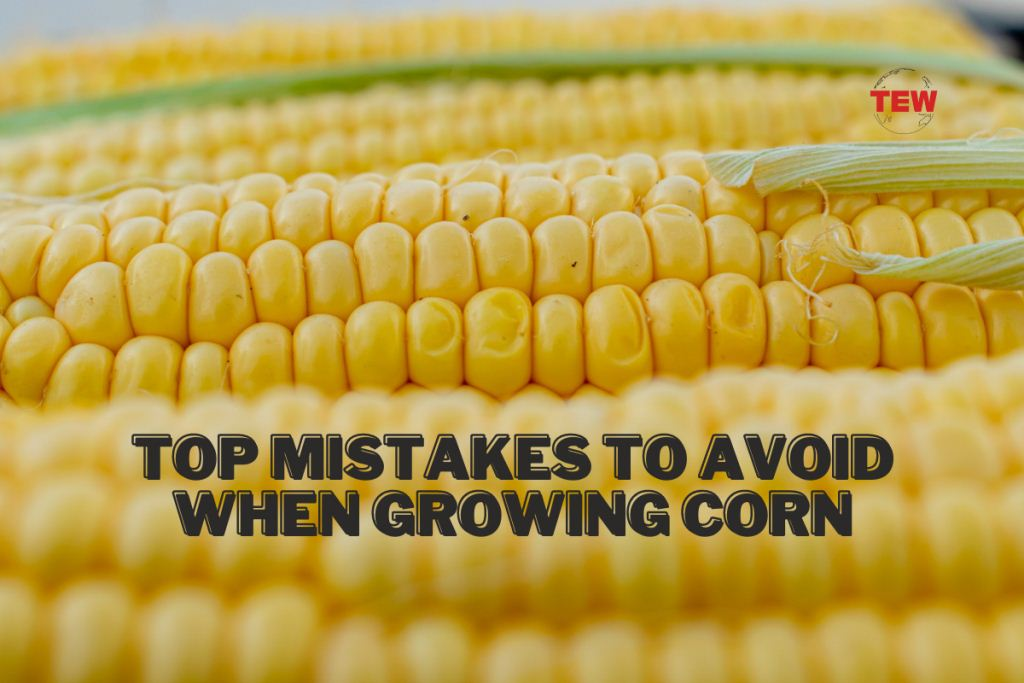 Read more about the article Top Mistakes to Avoid When Growing Corn